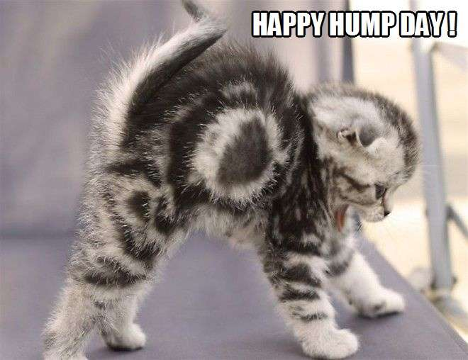 Image result for happy hump day cat